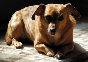 Vitaminas para un perro diabético