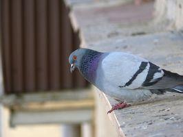 La infestación de ácaros de las aves en Ropa de una Casa