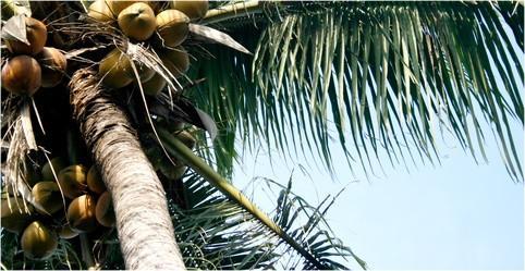 De palma y aceite de coco en WC