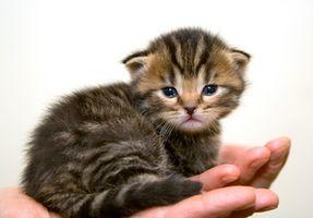 ¿Puedo darle Pedialyte a Mi gatito que está deshidratado?