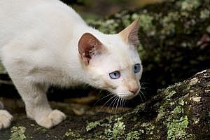 Cómo matar a las pulgas en los gatos