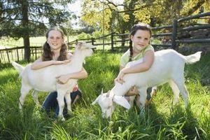 Cómo alimentar a las cabras pulpa de remolacha