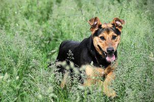 Tratamiento homeopático para las alergias en los perros