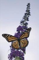 Cómo coser su propia mariposa-Forma de vestir