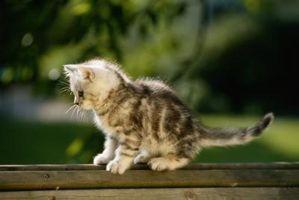 Cómo quitar las garrapatas de los párpados de un gato