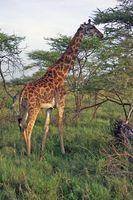 Datos e Información Acerca de las jirafas