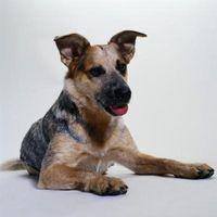 ¿Cuándo llegaron los perros Heeler Ven a los EE.UU.?