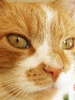 ¿Cuáles son los tratamientos para el acné felino?